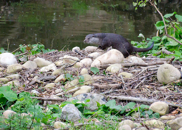 Otter on our doorstep