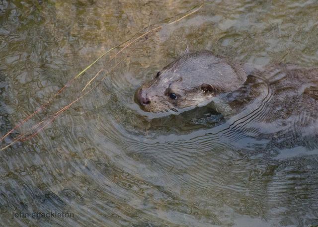 Otter, close-up