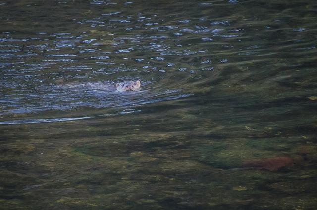 Return of the otter