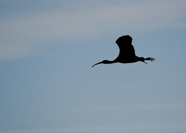The estuary of Villaviciosa – The Glossy Ibis