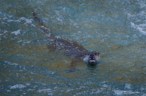 An evening watching an otter family in Asturias