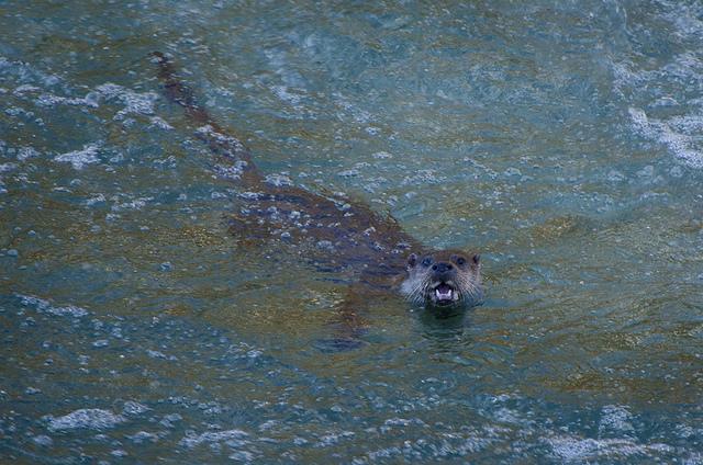 An evening watching an otter family in Asturias