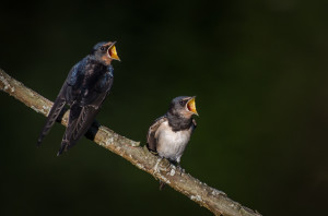 Riverside: Young Swallows