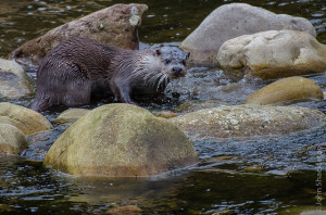 Otter: Early evening hunting