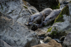 Asturian Rivers: In search of wild otters