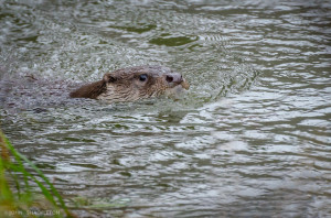 Chasing otters in the rain