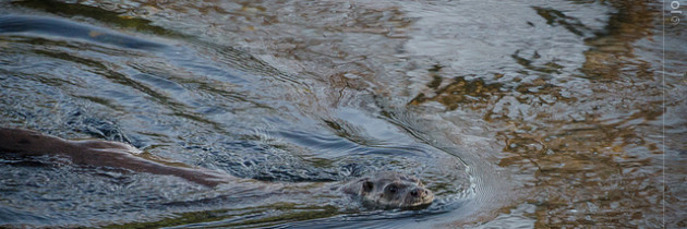Solitary Otter