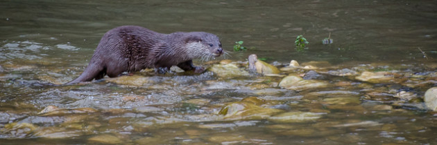 Otter fishing in the shallow water