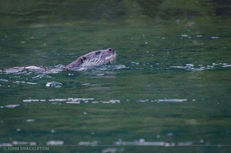Male Otter - White Beard