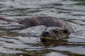 'White Beard' – The wandering male otter